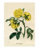 Rosa Banksiae from Benjamin Maund's Botanic Garden Volume III 1829