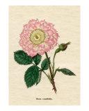 Rosa centifolia  The Oeillet or pink-flowered rose from Benjamin Maund's Botanic Garden Volume III