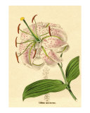 Lilium speciosa or Spotted-flowered lily from Benjamin Maund's Botanic Garden Volume XI