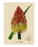 Tritoma Burchellii from Benjamin Maund's Botanic Garden 1829