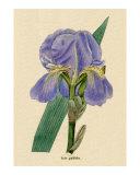 Iris pallida or Pale Iris Fleur de Lis from Benjamin Maund's Botanic Garden Volume IV 1831