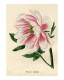 Paeonia moutan or Poppy-flowered Tree Peony from Benjamin Maund's Botanic Garden 1829