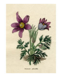 Anemone pulsatilla or Pasque flower reproduction from Benjamin Maund's Botanic Garden 1829