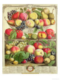 "September  from ""Twelve Months of Fruits""  by Robert Furber  1732"
