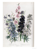 Delphiniums  Plate 3 from &quot;The Ladies&quot; Flower Garden&quot;  Published 1842