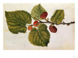 Mulberry: Morus Nigra  circa 1568  by JLe Moyne de Morgues