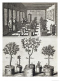 "Orangery  from ""De Nederlandze Hesperides"" by Jan Commelin  Published 1676"