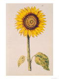 "Sunflower or Helianthus  from ""La Guirlande de Julie""  circa 1642"