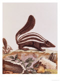 "Skunk  from ""Histoire Naturelle"" by Georges Louis Leclerc Buffon 1749-1804"