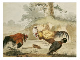 Cocks Fighting
