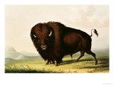 A Bison  circa 1832