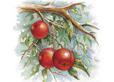 Three Apples on a Branch