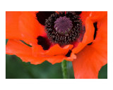 Bright red poppy flower