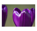 Purple crocus flower abstract
