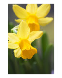 Yellow narcissus daffodil flowers