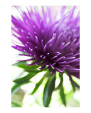 Abstract purple aster flower