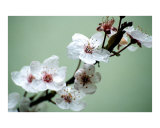 Beautiful delicate cherry blossom