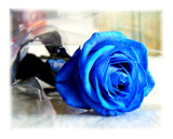 Blue roses are new to me