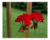 Beautiful red geraniums in East Tennessee