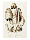 Agaricus Fimetarius (Egg Mushroom)