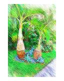 Bottle Palm Tree - Hyophorbe lagenicaulis
