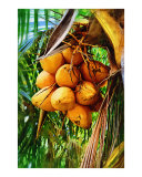 Coconuts on tree -   Oil painting Fairchild Tropical Garden in Coral Gables  Florida