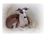 Italian Greyhound with Pillow