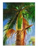 Dictyosperma album  hurricane palm tree - Tropical Collection - Palms & Landscape   Miami   FLorida