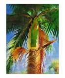 Dictyosperma album  hurricane palm tree - Tropical Collection - Palms &amp; Landscape   Miami   FLorida