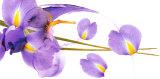 Lucid Iris I