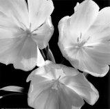 Tulipes Reproduction d'art par Darlene Shiels
