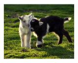 Baby Goats at Play