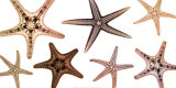 Starfish Collection