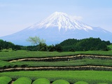 Tea Plantation and Mount Fuji