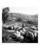 Herder and His Sheep  Bethlehem