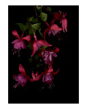Fuschia Blossoms on Black Background
