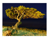 Divi divi Tree Aruba