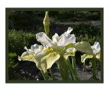 Butter & Sugar Siberian Iris Photograph