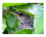 Baby mockingbird hiding in hibiscus