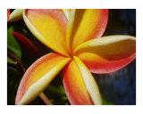 Kauai plumeria
