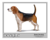 Breeds Standards Beagle