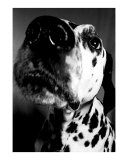 Nosey Dalmation