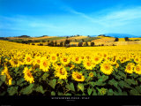 Sunflowers Field  Umbria
