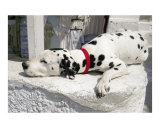 Dalmation Resting on White Wall in Santorini