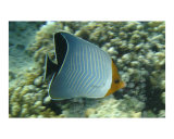 Orangeface Butterflyfish