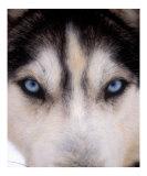 Focus - Husky Eyes
