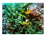 Twobar Anemonefish