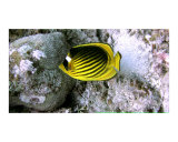 Stripped Butterflyfish