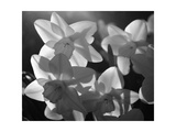 white daffodils in spring Black and white image