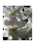 spring daffodils in sunlight